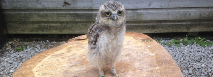 Bobby Our Baby Burrowing Owl