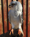 Dante - Black Shouldered Kite