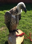 George - White Backed Vulture