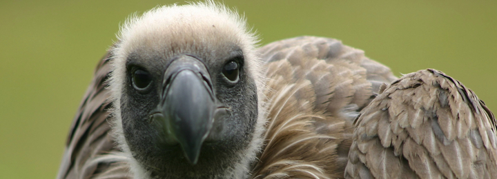 George White Backed Vulture