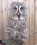 Misty - Great Gray Owl