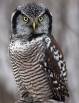 Nanook - Northern Hawk Owl