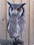 Sahara - White Faced Scops Owl